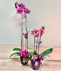 A Classic Potted Orchid